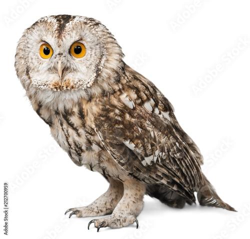 Eagle Owl Wallpaper Mural