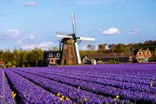 Photo Stands Candy pink Holland landscape at the springtime
