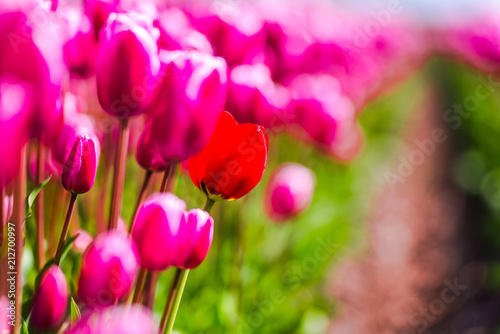 Poster Rose Tulips field