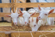 Cute Goats Eating Hay Through Fences At Farm