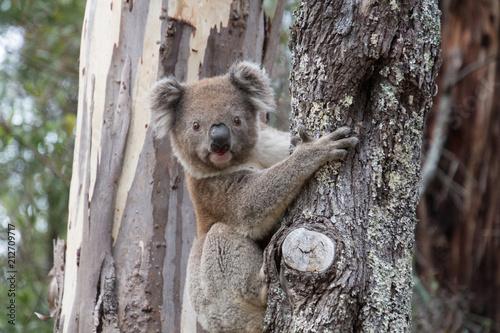 Poster Koala Koala in Gumtree