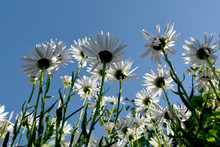 Whitw Daisies Unusual View Fro...