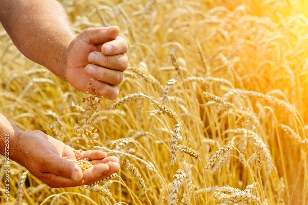 Fototapety, obrazy: The farmer on a wheat field checks the maturity of wheat grain. Rich harvest Concept.