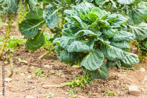 Foto op Canvas Brussel Brussels sprouts growing in a field