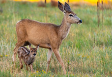 An Adorable Mule Deer Fawn And...
