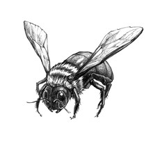 Beautiful Hand Drawn Bee. Pencil Work. Insect Isolated On A White  Background. It Can Be Used For Printing On T-shirts, Cards, Or Used As Ideas For Tattoos.