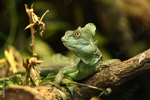 Amazing  basilisk in the nature habitat. Wild animals in captivity. Beautiful tropical reptile. Deep green dragon on a tree. Basiliscus plumifrons.