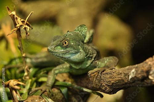 Amazing  basilisk in the nature habitat. Wild animals in captivity. Beautiful tropical reptile. Deep green dragon on a tree. Basiliscus plumifrons.