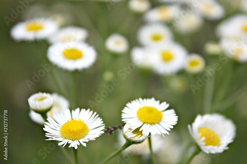 Foto op Canvas Madeliefjes Flower & Цветок