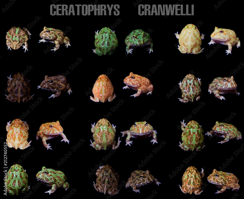 Fototapeta The chachoan horned frogs set isolated on black