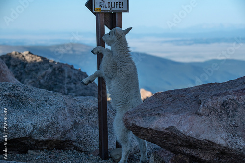 Fotografie, Obraz  A Baby Mountain Goat Kid Under a Self Advertising Sign