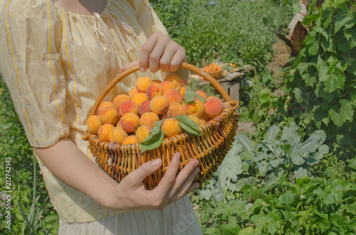 Young woman picking apricots