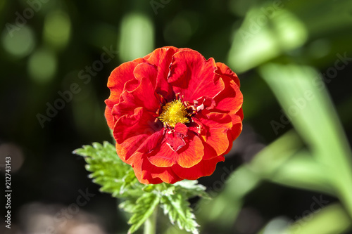 Fotografía  Potentilla 'William Rollison' a springtime summer red flower small shrub commonl
