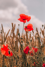 Red Poppies Field Golden Spike...