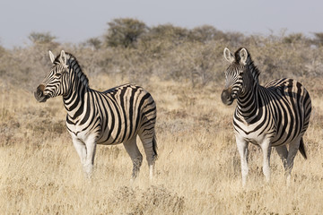 Fototapeta na wymiar Cebras en la sabana de Namibia, África.