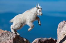 Adorable Baby Mountain Goat La...