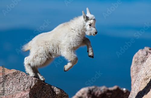 Adorable Baby Mountain Goat Lamb At The Top Of Mount Evans Fotobehang