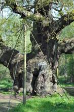 The Major Oak Tree In Sherwood...