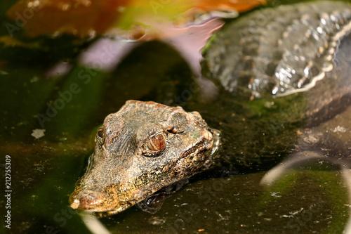 Cadres-photo bureau Crocodile Glattstirnkaiman im Fluss