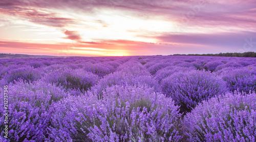 Fototapeta panorama field lavender summer. shallow depth of field obraz na płótnie
