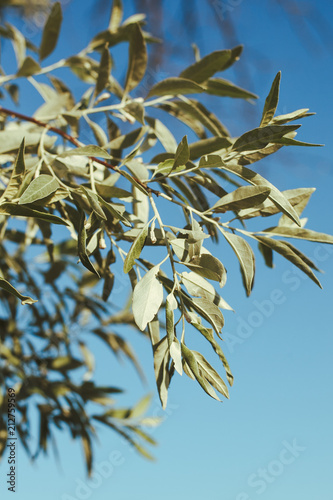 Keuken foto achterwand Olijfboom A branch of olive tree in the sunlight