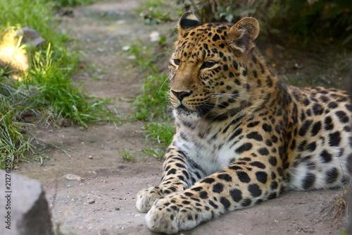 Foto op Aluminium Luipaard Leoparden Panthera pardus beim ausruhen
