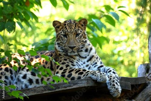 Naklejka premium Leopard Panthera pardus podczas odpoczynku