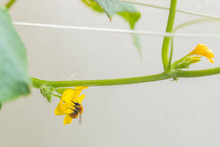 Cute Bumblebee Pollinating Yellow Flowers Of Organic Healthy Cucumis Sativus Plant Of A Heirloom Variety Parisian Pickling Cucumber, Climbing And Attaching To The Trellis, On Sunny Summer Day