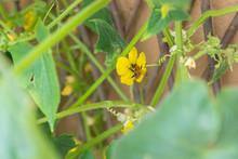 Cute Bumblebee Pollinating Yel...
