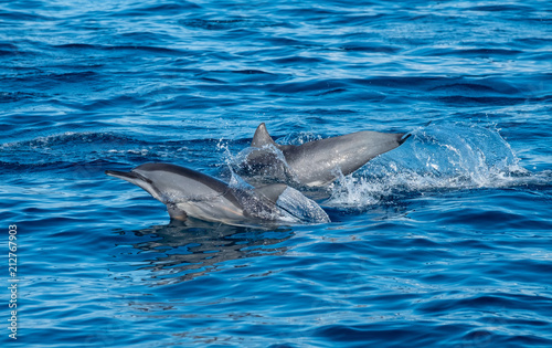 In de dag Dolfijn swimming dolphin in the ocean