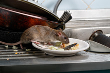 Close-up Young Rat (Rattus Norvegicus) Sniffs Leftovers On A Plate On Sink At The Kitchen. Fight With Rodents In The Apartment. Extermination.
