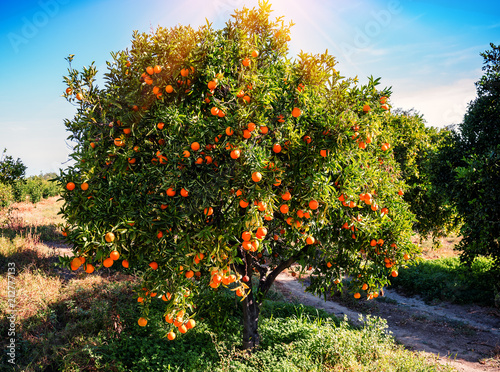 lush and juicy orange tree