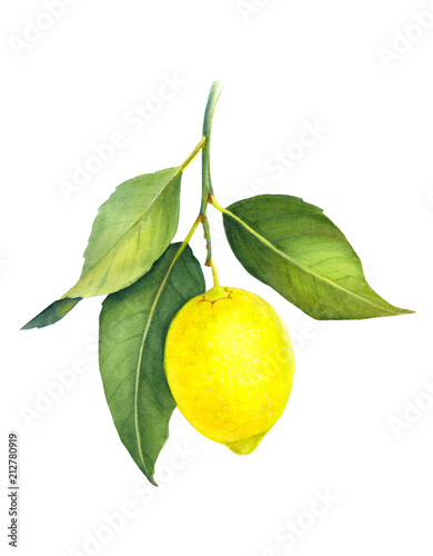 Fresh juicy lemon isolated on white background. Branch of yellow citrus fruit with green leaves. Hand drawn watercolor painting. Botanical realistic art.