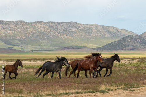 Wild Horses Running in the Utah Desert