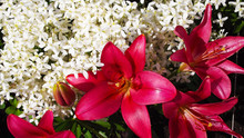 Beautiful Lily Burgundy And Wh...