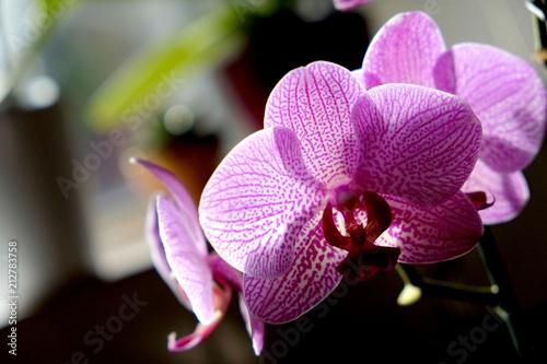 Orchidea Rosa E Bianca In Controluce Su Sfondo Sfocato Verde E Nero