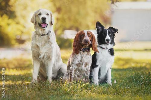 Naklejki zwierzęta  dog-pet-golden-retriever-spaniel-border-collie