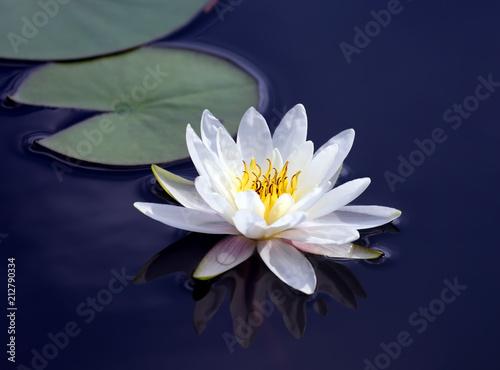 Garden Poster Lotus flower white lotus lily flower on water