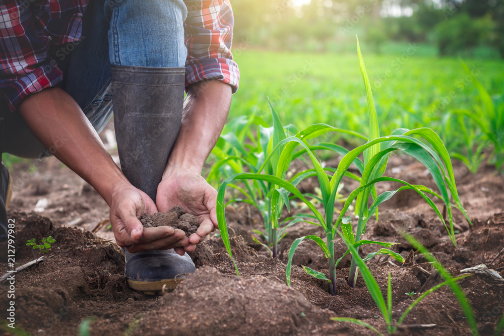 Fototapety, obrazy: Young farmer holding pile of arable soil, male agronomist examining quality of fertile agricultural land, in cornfield.