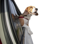Beagle Dog With Head And Front...