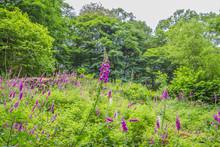 Field Of Pink Wild Foxglove Flowers