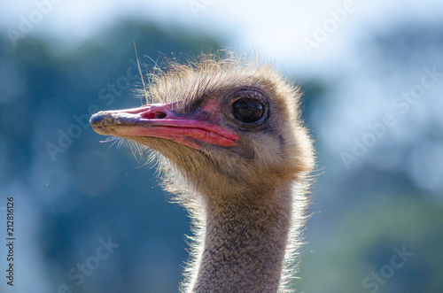 Spoed Foto op Canvas Struisvogel the funny ostrich