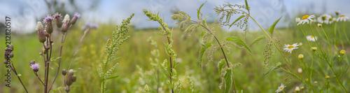 Fototapeta weeds - nettle, thistle, wormwood on a field close up obraz