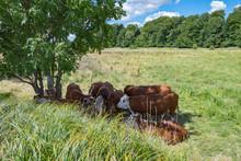 Cattle Seek Shadow Under A Tre...