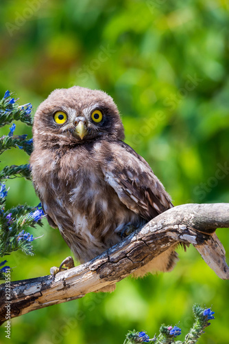 Keuken foto achterwand Uil Little owl or Athene noctua on wooden branch with flowers