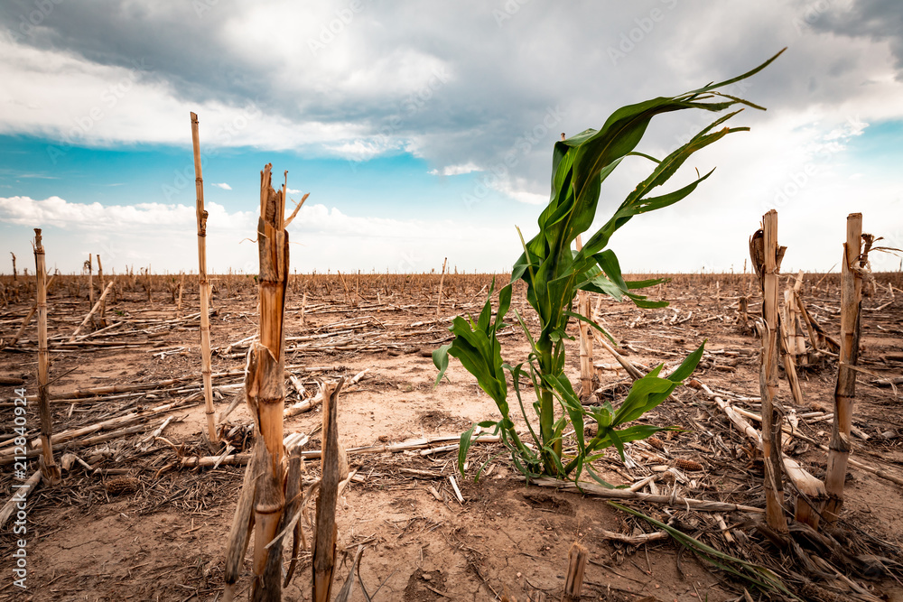 Fototapeta Drought in a cornfield