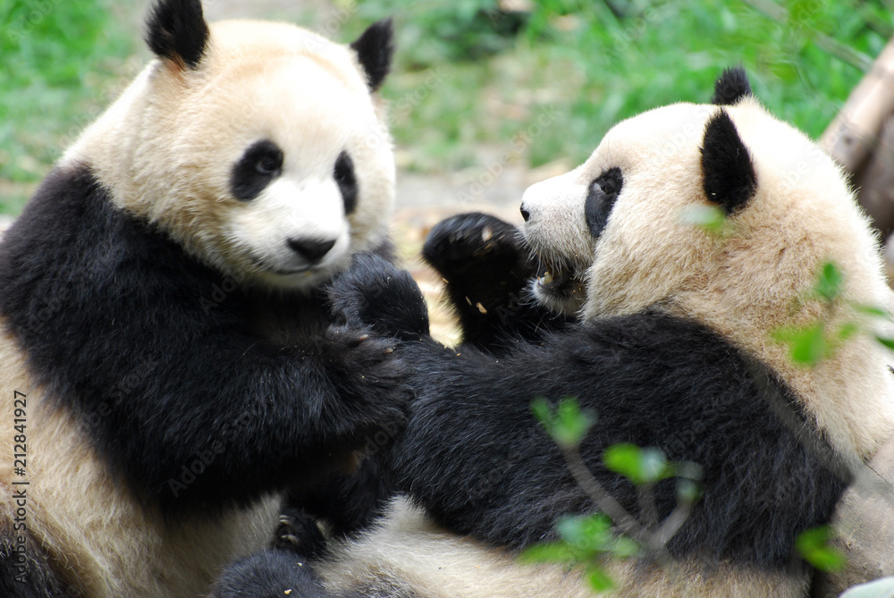 two giant pandas playing and eating together