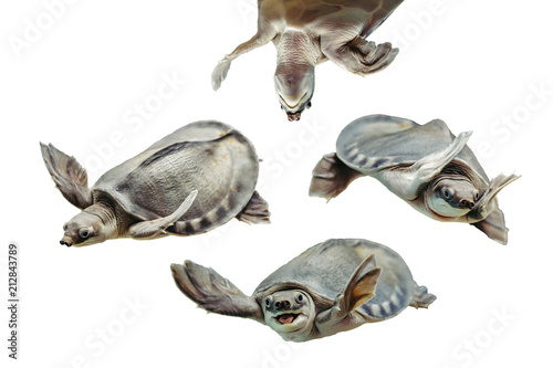 Poster Tortue Carettochelys insculpta. Collection of funny turtles on white background. Isolated image of aquatic animal. Merry reptile in different poses close up.
