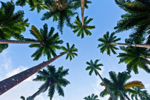 Palm Trees Seen From Below With Blue Sky