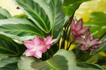 Calathea Loeseneri Or Brazilian Star Calathea Green Plant With Pink Flowers